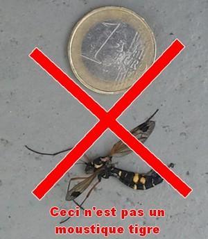 moustique-raye-noir-jaune-pas-moustique-tigre-ctenephora